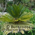 Small image of CYCAS