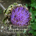 Small image of ARTICHOKE - see CYNARA