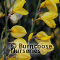 Small image of BROOM - see CYTISUS
