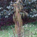 Small image of DACRYCARPUS