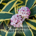 Photo of Daphne 'Marianni' for £31.00