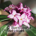 DAPHNE bholua 'Mary Rose'