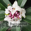 Photo of DAPHNE 'Perfume Princess'