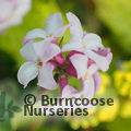 Photo of Daphne 'Spring Beauty' for £51.00