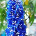 Small image of DELPHINIUM