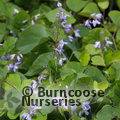Small image of DESMODIUM