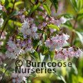 Small image of DEUTZIA