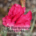 DIANTHUS 'Rose Joy'