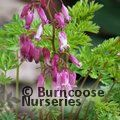 Small image of DICENTRA
