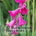 Small image of DIERAMA