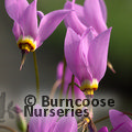 Small image of DODECATHEON