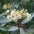 DRIMYS winteri var latifolia
