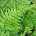 HARDY FERNS Dryopteris affinis 'Cristata the King'