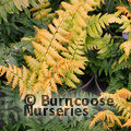 Small image of HARDY FERNS