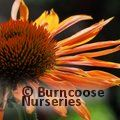 Small image of ECHINACEA