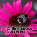 Photo of ECHINACEA purpurea 'Fatal Attraction'
