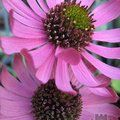 ECHINACEA tennesseensis 'Rocky Top'