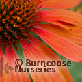 ECHINACEA 'Sombrero Adobe Orange'