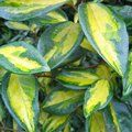 Small image of ELAEAGNUS