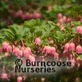 Photo of ENKIANTHUS campanulatus 'Victoria'