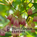 Small image of ENKIANTHUS