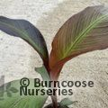 Small image of ENSETE