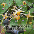 Small image of EPIMEDIUM