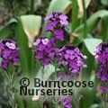 Small image of ERYSIMUM