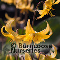 Small image of ERYTHRONIUM