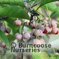 Small image of EUONYMUS