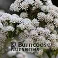 Small image of EUPATORIUM