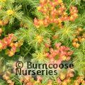 EUPHORBIA cyparissias 'Orange Man'