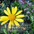 Small image of EURYOPS