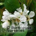 Small image of EXOCHORDA