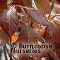 FAGUS sylvatica 'Dawyck Purple'