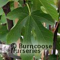 Small image of FICUS