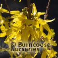 Small image of FORSYTHIA