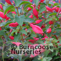 FUCHSIA 'Chilli Red'
