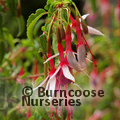 FUCHSIA magellanica 'Lady Bacon'