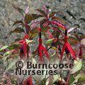FUCHSIA magellanica 'Versicolor'