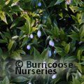 Small image of GALANTHUS