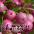 Small image of GAULTHERIA