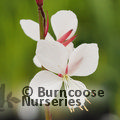 Small image of GAURA
