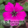 GERANIUM cinereum 'Purple Pillow'