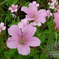 Small image of GERANIUM