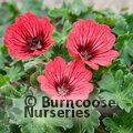GERANIUM 'Jolly Jewel Salmon'