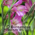 Small image of GLADIOLUS