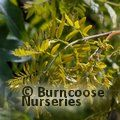 Small image of GLEDITSIA