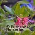 GREVILLEA miqueliana subsp. moroka