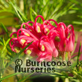 Small image of GREVILLEA